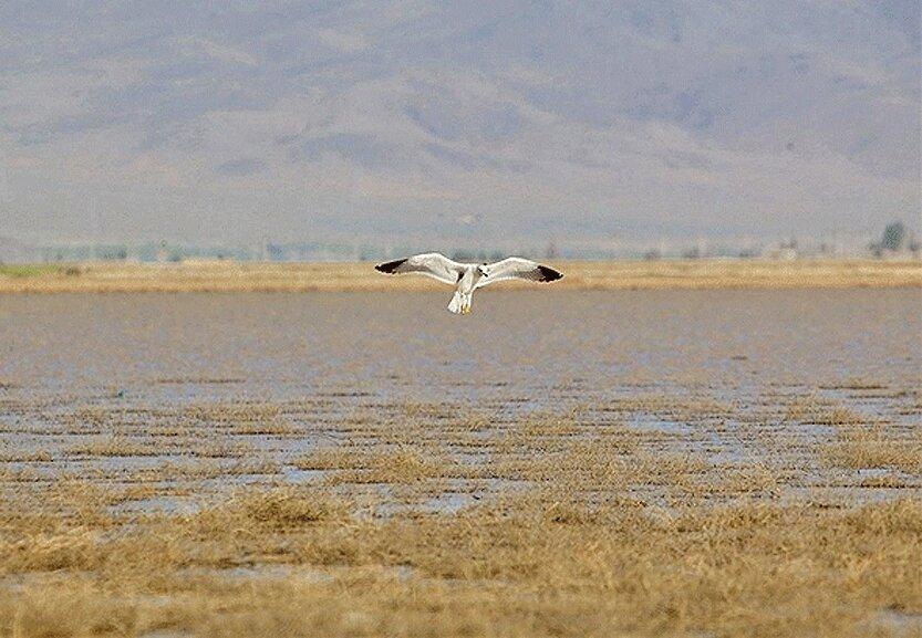 شروع حضور پرندگان مهاجر در تالاب های همدان